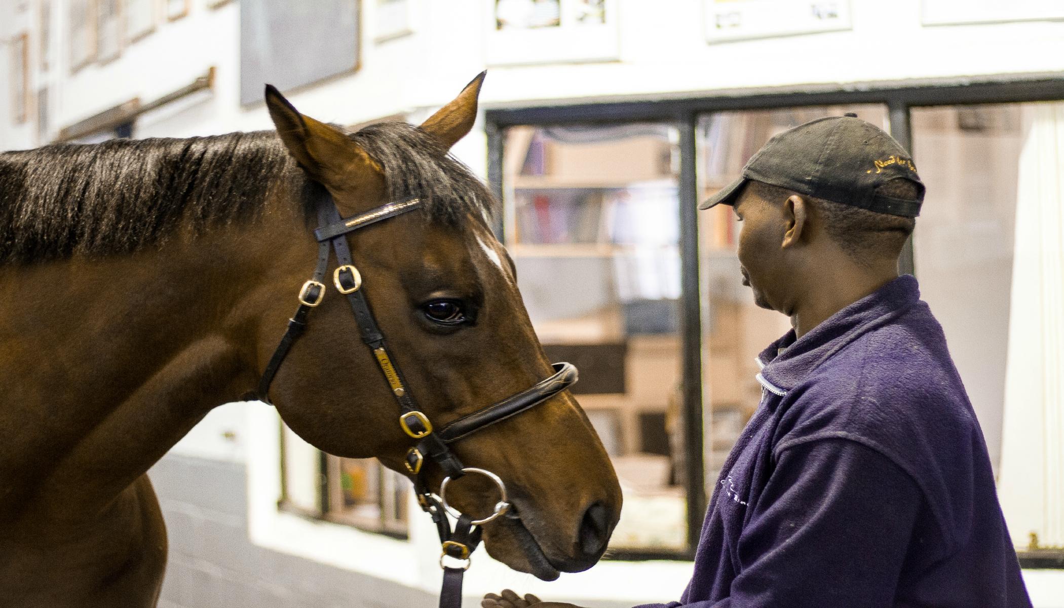 Avontuur stud horse