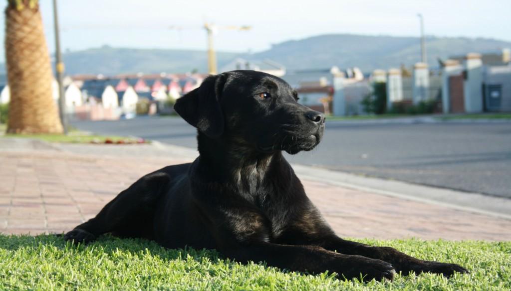 Brindle Labrador